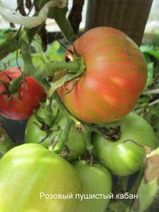 томат розовый мохнатый кабан