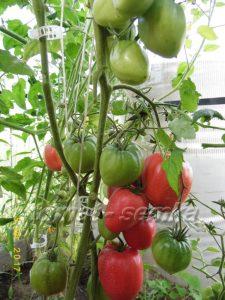 томат сердце быка русское фото куста