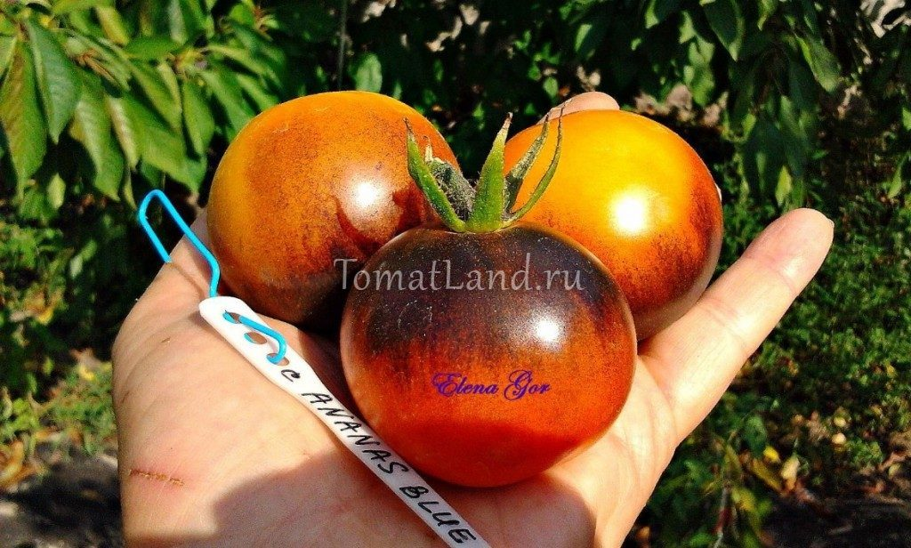 помидоры синий ананас фото