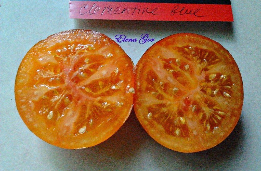 томат синий клемантина фото