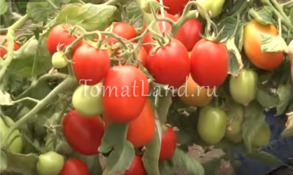 помидоры ушаков фото