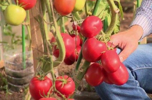 томат великосветский фото