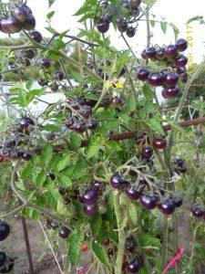 томаты сине-золотые ягоды фото
