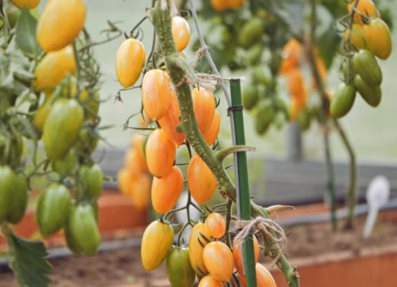 помидоры котя фото спелых плодов