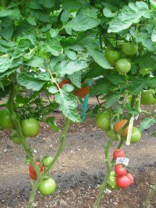 томаты пинк роуз фото куста с плодами