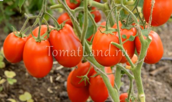 помидоры рокер фото
