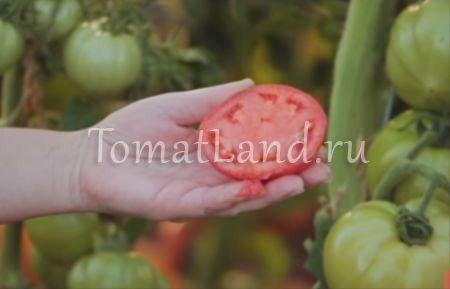 помидор малиновая идея фото отзывы