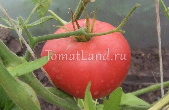 помидоры Сибирские шаньги фото