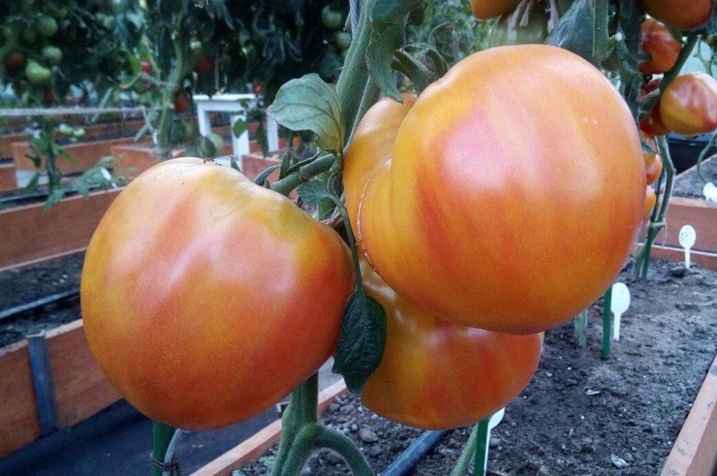 помидоры сокровище инков, фото