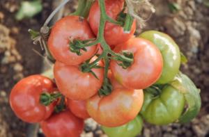 помидоры Фамилия фото