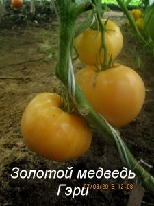 томаты золотой медведь гэри фото