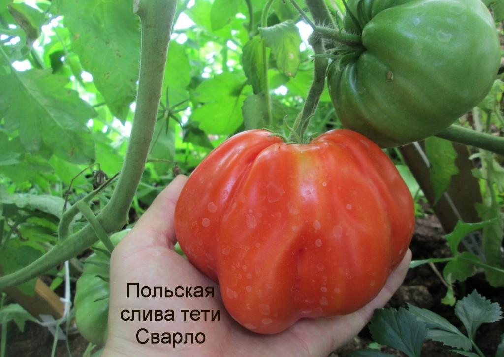 помидоры польской тети Сварлоо фото