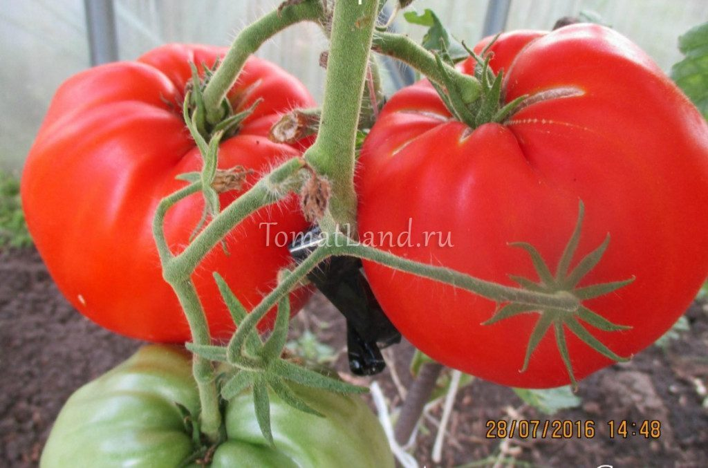 помидор тетушка Сварло фото