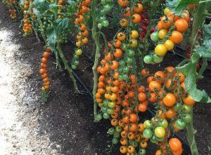 помидоры Волшебная арфа фото