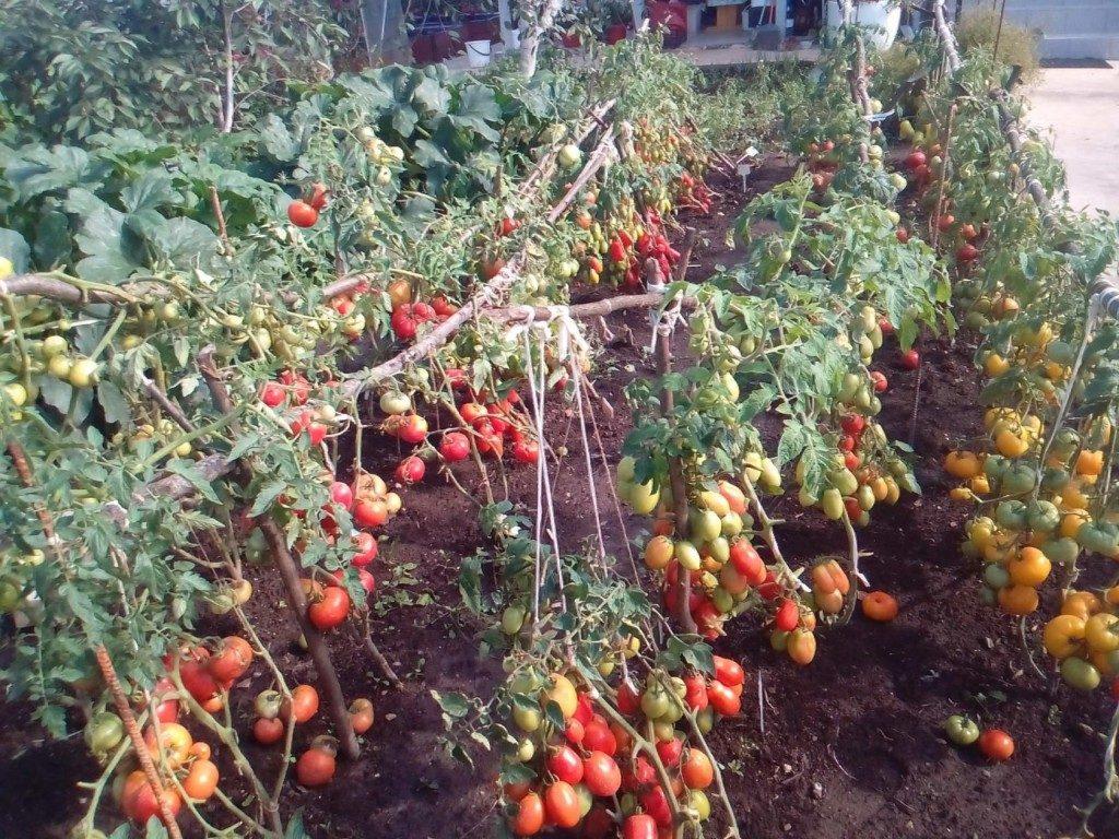 помидоры сорта Голицын фото