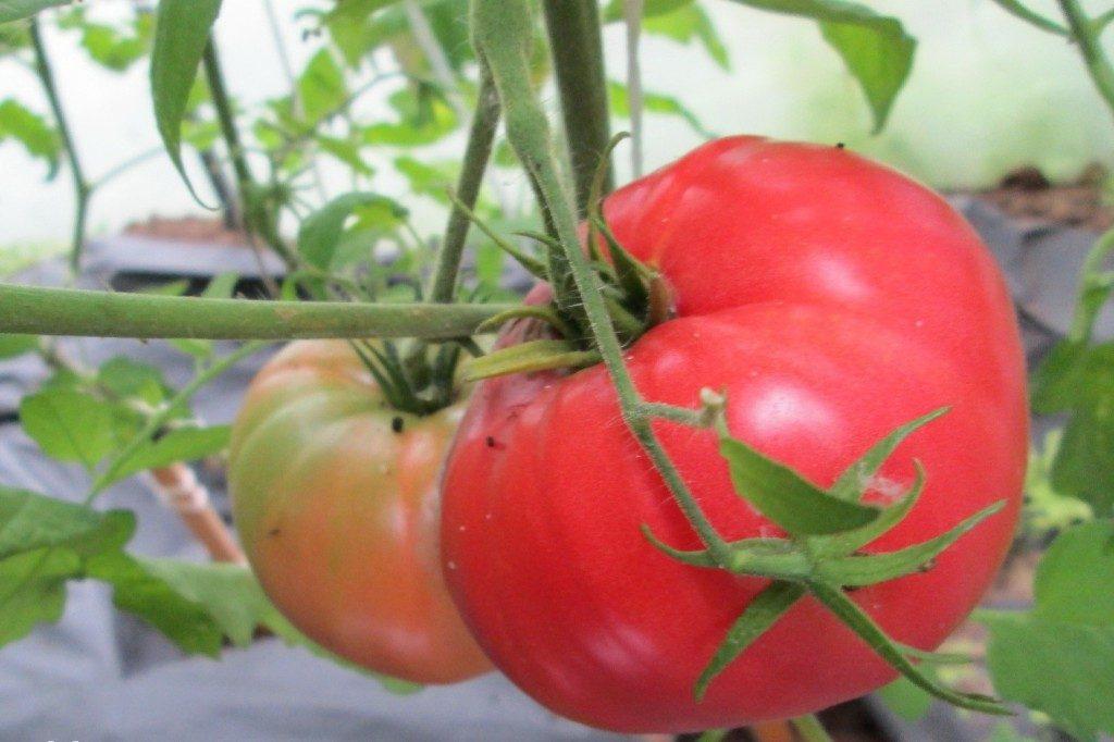 томат кавказец фото спелых плодов