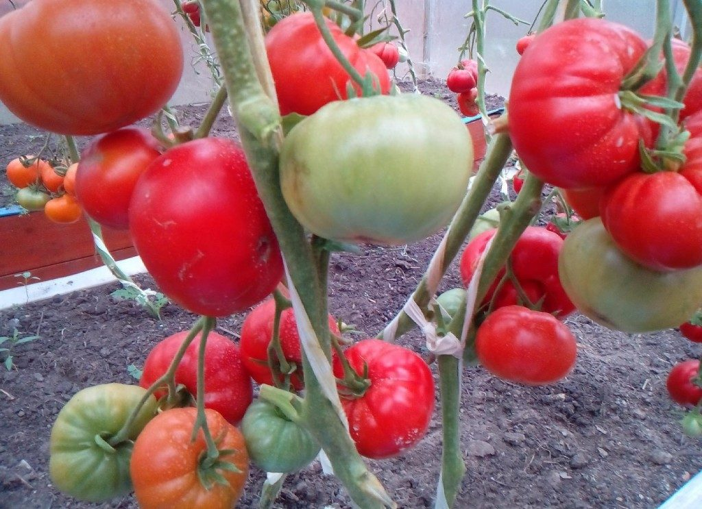 помидоры Кавказец фото