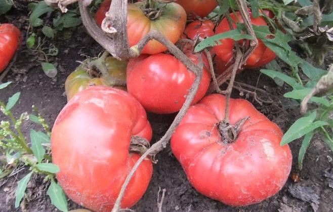помидоры командир полка фото
