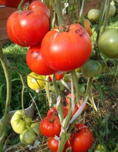 томаты командир полка фото спелых плодов на кусте