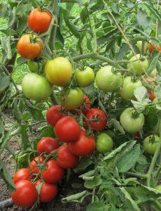 помидоры морозко фото