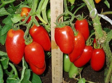 Томат Сицилийский перчик: отзывы об урожайности, характеристика и описание сорта, фото семян