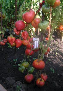 томат валентинки фото куста