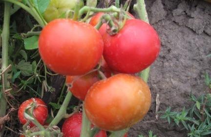 помидоры весенняя капель фото