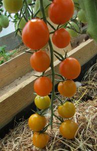 томаты кистевые оранжевые