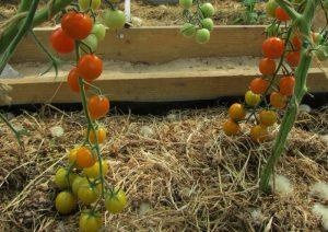 помидоры златовласка фото спелых плодов