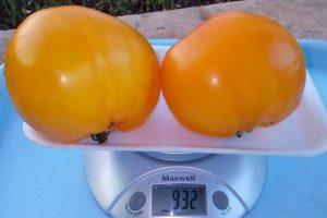 помидоры золотая осень