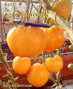 томаты сорт Золотая осень фото