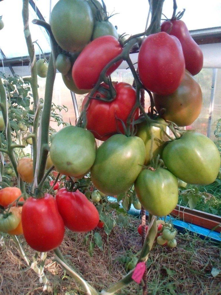 помидоры Кровавая Мэри фото отзывы