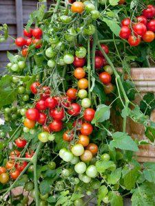 помидоры Рябиновые бусы фото