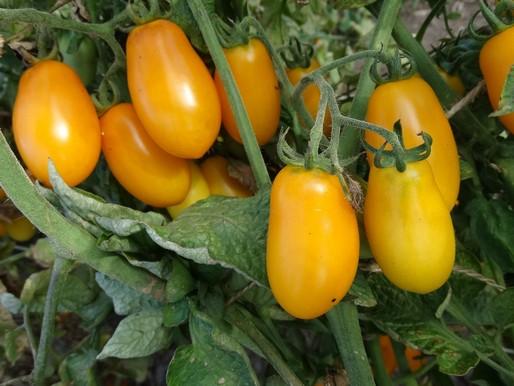 томаты Тайко фото куста