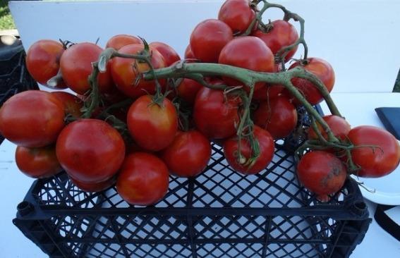 помидоры Юлиана