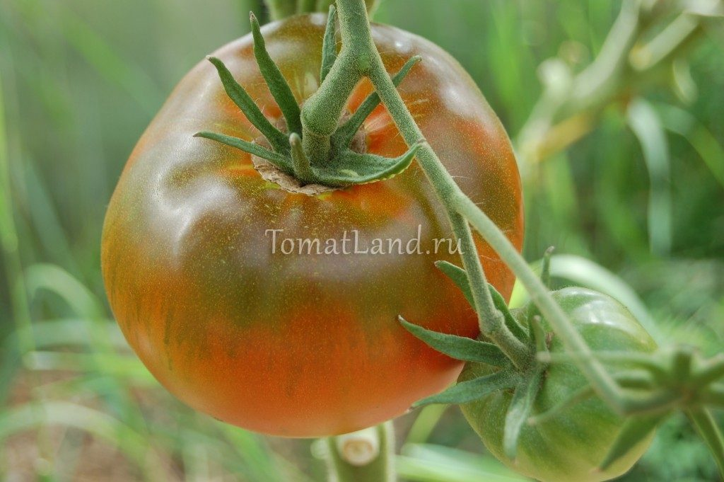 томаты король королей фото на кусте
