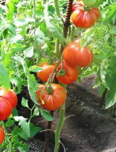 помидоры хохол гигант фото куста