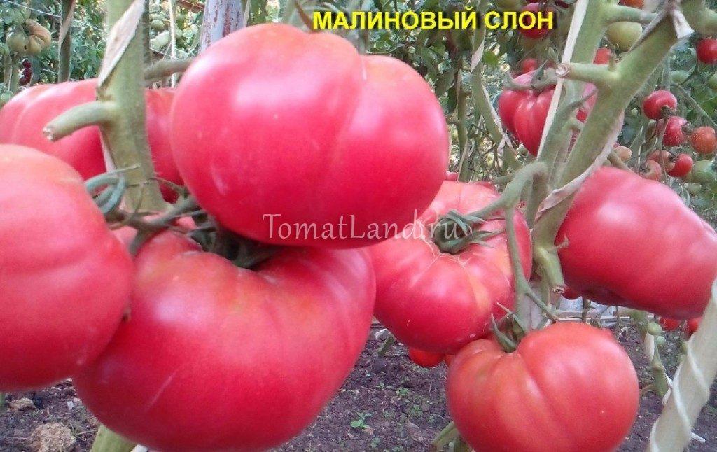 томаты Малиновый слон фото на кусте