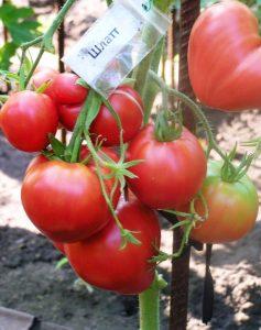 томат Шлатт фото на кусте