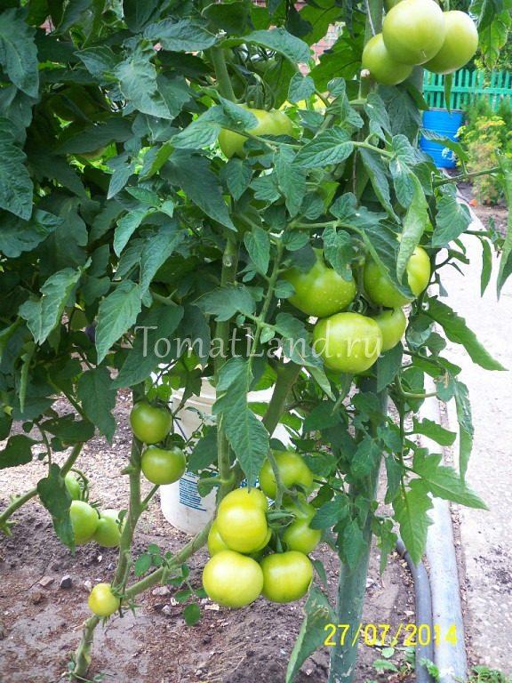 помидор толстой фото на кусте