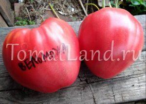 помидоры вельможа фото