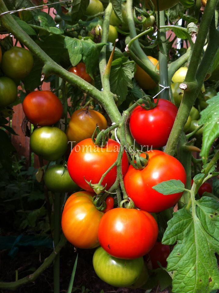 помидор вождь краснокожих фото