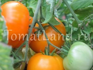 помидоры аксанта фото