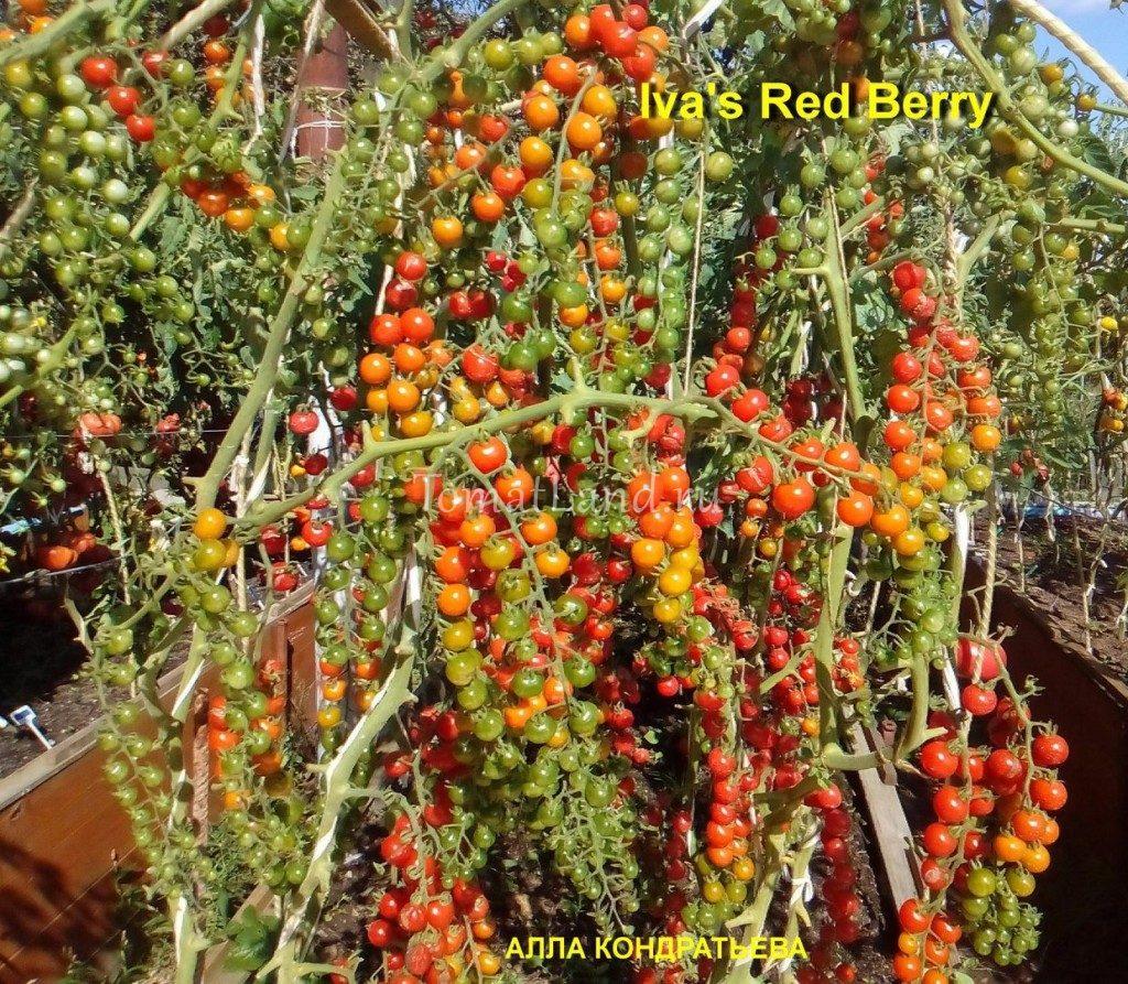 помидоры красная ягода Ивы