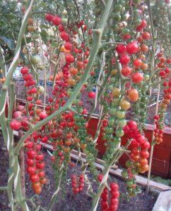 помидоры красная ягода ивы фото