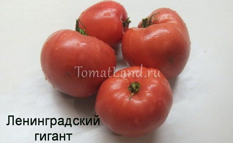 помидоры Ленинградский гигант фото
