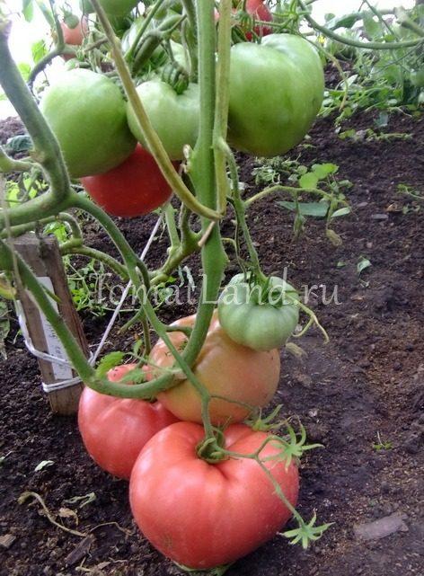 помидоры ленинградский гигант фото отзывы характеристика