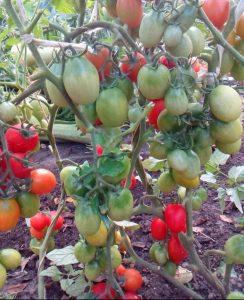 томат обжорка фото куста
