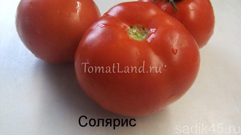 помидоры солярис фото