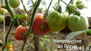 помидоры минусинские из вятки фото
